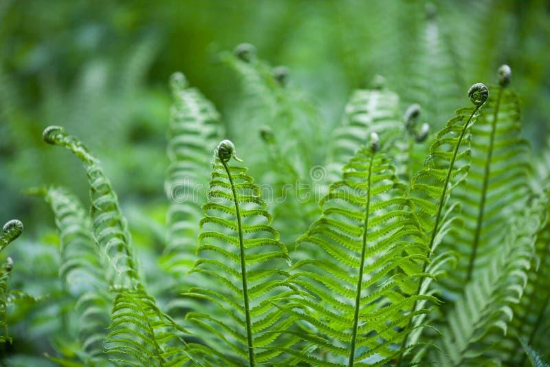 Der junge Waldfarn betrachtet mit Locken den Enden der Blätter sehr ungewöhnlich lizenzfreie stockbilder