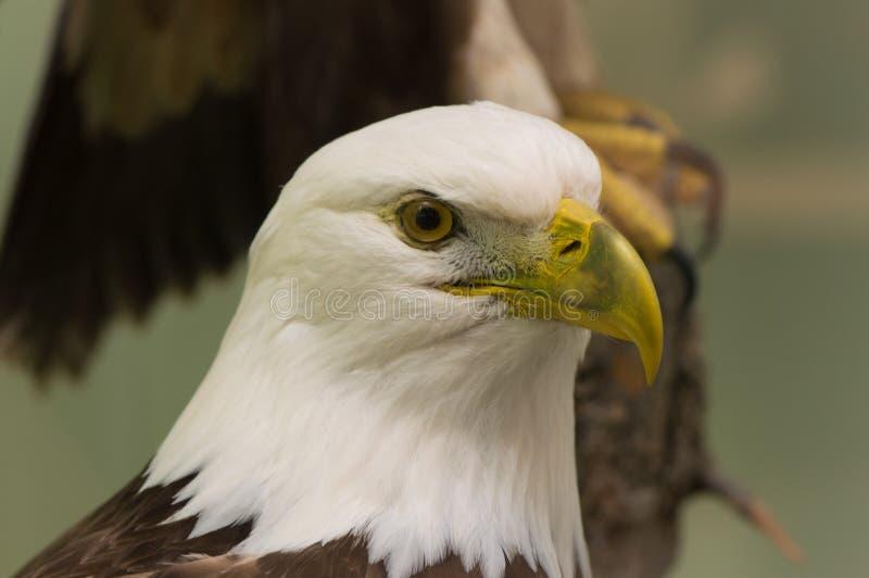 Der kahle Adler stockfotografie
