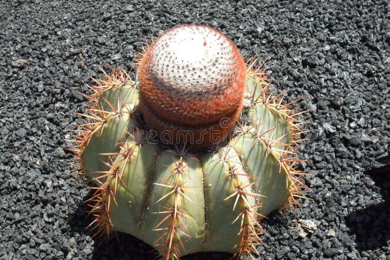 Der Kaktusgarten in der Insel von Lanzarote in den Kanarischen Inseln stockbilder