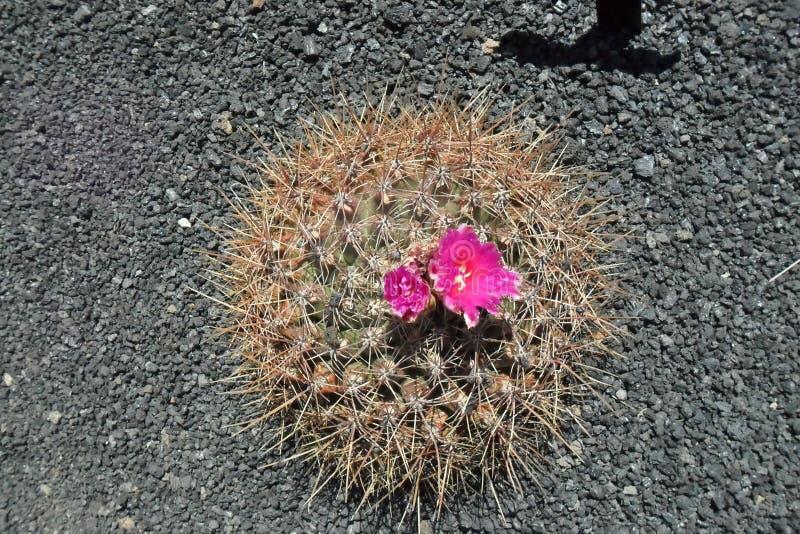 Der Kaktusgarten in der Insel von Lanzarote in den Kanarischen Inseln lizenzfreies stockfoto
