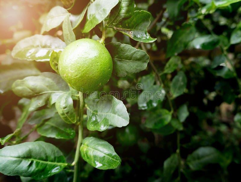 Der Kalk oder grüne der Zitronenfall auf den Niederlassungen des Baums im Garten stockbild