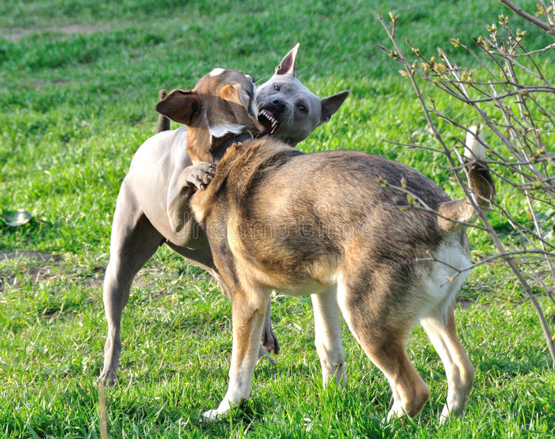 Der Kampf von Hunden stockbild
