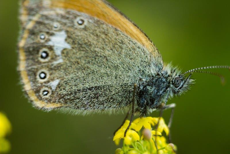 Der Kastanienheide - Coenonympha-glycerion lizenzfreies stockbild