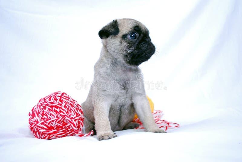 Der kleine beige Welpe Mopsa sitzt zwischen zwei woolen Bällen von Threads stockfotografie