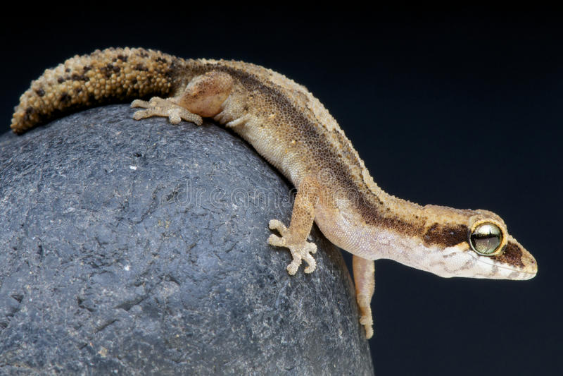 Pygmäenpanther Gecko/Paroedura androyensis lizenzfreies stockfoto