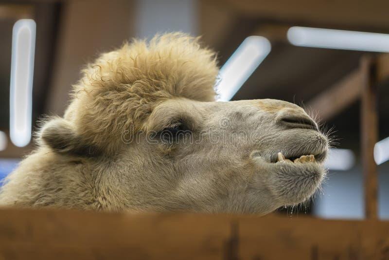 Der Kopf des flaumigen lustigen Kamels steht durch einen Bretterzaun innerhalb des Bauernhofes hervor stockfoto