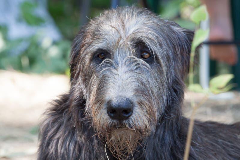 Der Kopf des irischen Wolfshunds lizenzfreies stockfoto