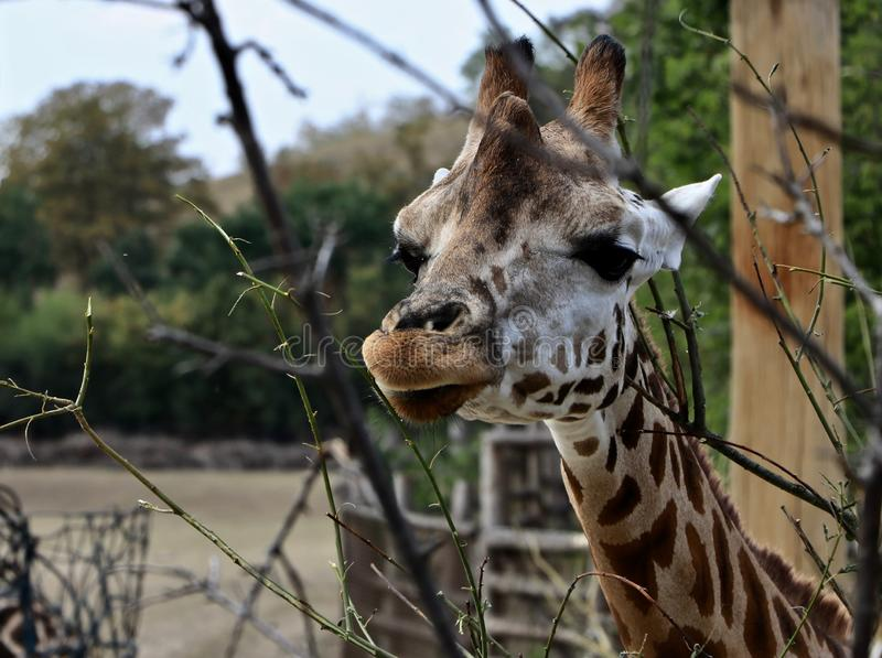 Der Kopf einer Giraffe in einem Wald lizenzfreie stockfotos