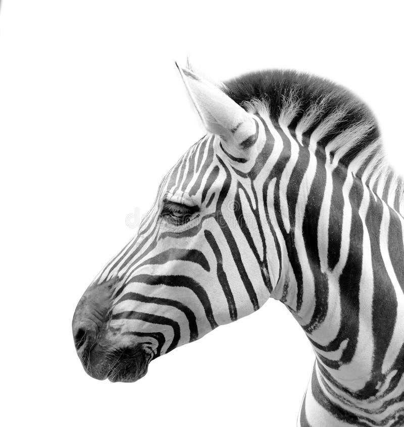 Der Kopf eines Zebras lokalisiert im weißen Hintergrund stockfotos