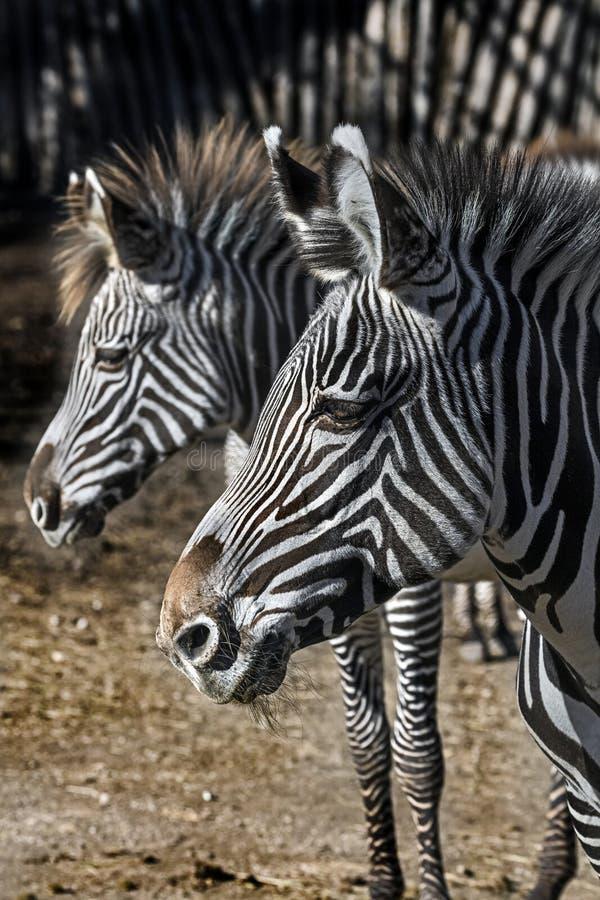 zebra lateinischer name