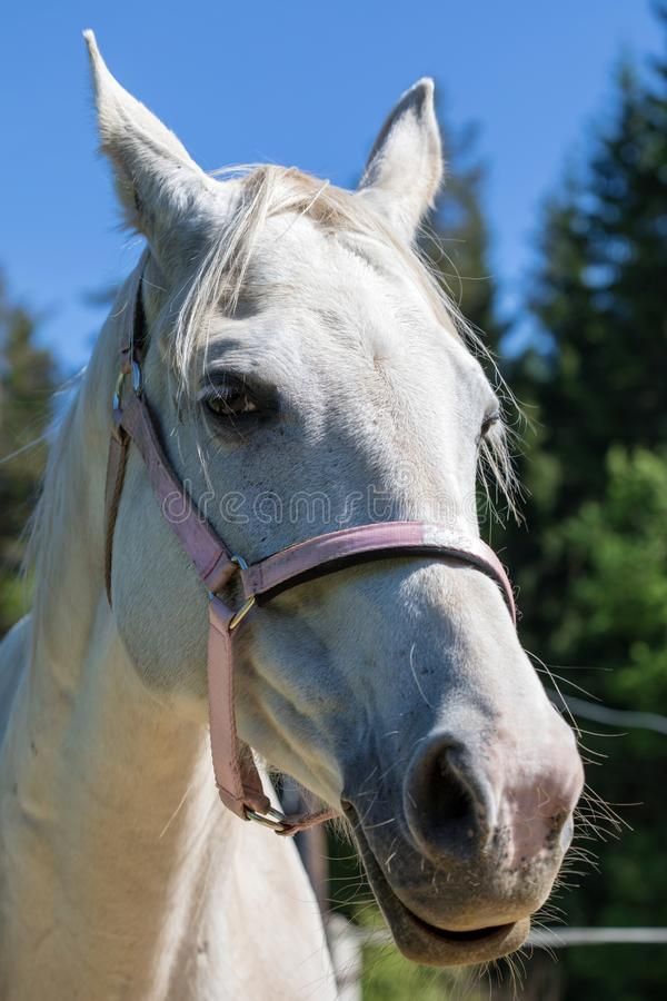 Der Kopf lächelnden oder gackernden weißen Hanoverian-Pferds im Zaum oder Snaffle a mit dem grünen Hintergrund von Bäumen ein Gra stockfotos