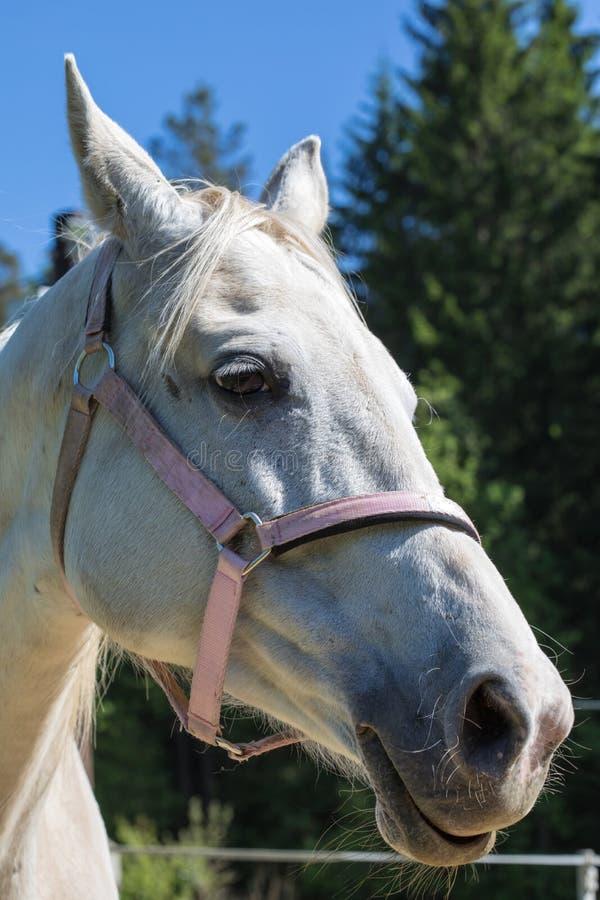 Der Kopf lächelnden oder gackernden weißen Hanoverian-Pferds im Zaum oder Snaffle mit dem grünen Hintergrund von Bäumen ein Gras  stockfoto