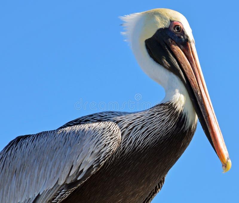 Der Kopf und die gefalteten Flügel eines nordamerikanischen erwachsenen braunen Pelikans gegen einen hellen blauen Himmel stockbilder