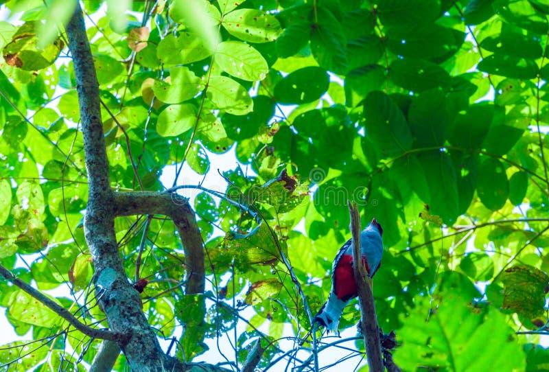 Der kubanische trogon oder tocororo Priotelus-temnurus Vogel lizenzfreie stockfotografie