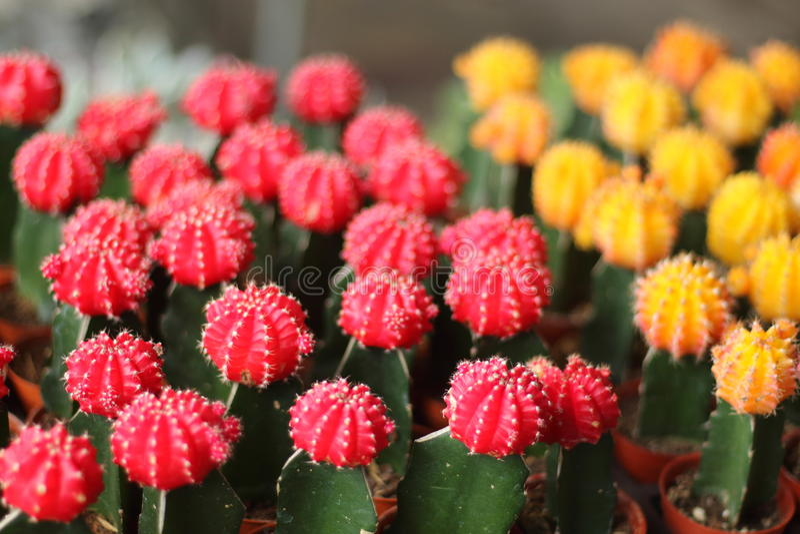 der kugelf rmige kaktus mit einer roten spitze stockfoto. Black Bedroom Furniture Sets. Home Design Ideas