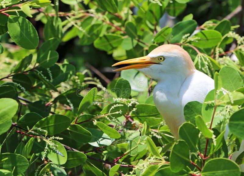 Der Kuhreiher auf Mangrovenbaum stockfotografie