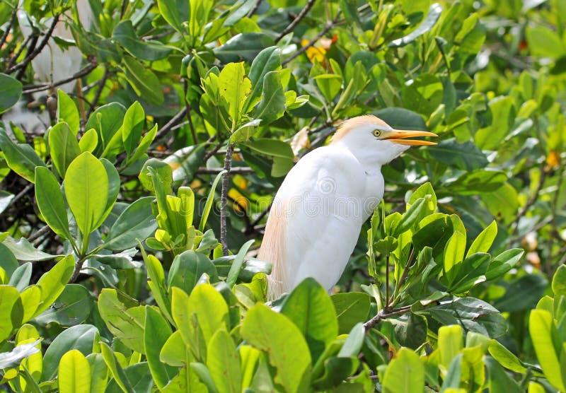 Der Kuhreiher auf Mangrovenbaum stockfotos