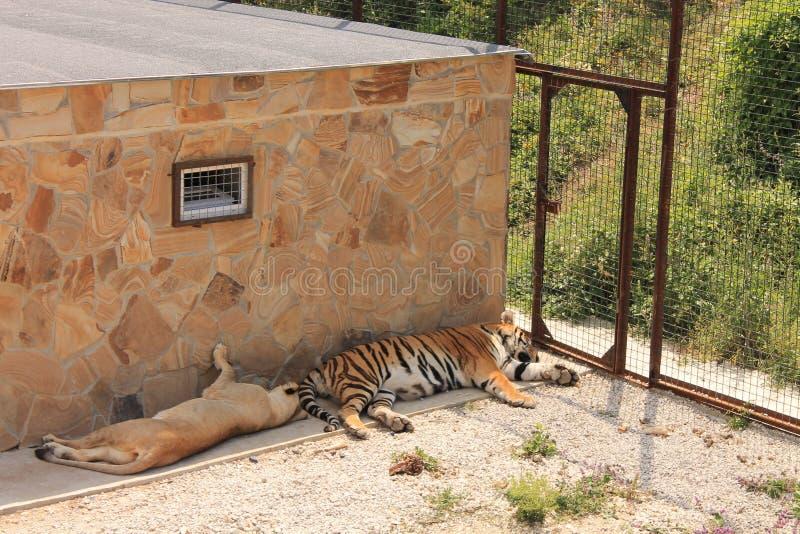 Der Löwe und der Tiger lizenzfreie stockfotografie