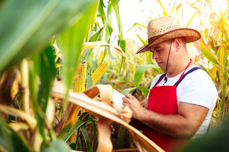Der Landwirt, der die Qualität des Mais überprüft, erntet stockbilder