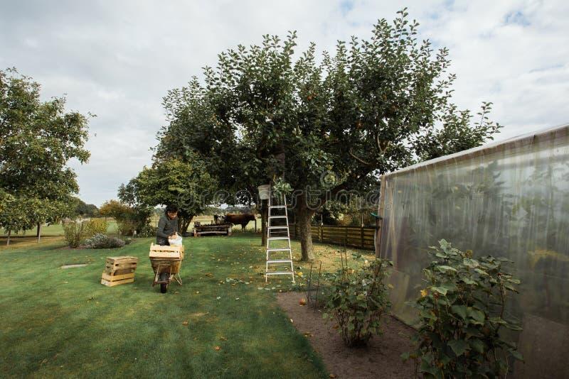 Der Landwirt, der die Äpfel in seinem Obstgarten erntet stockfotos