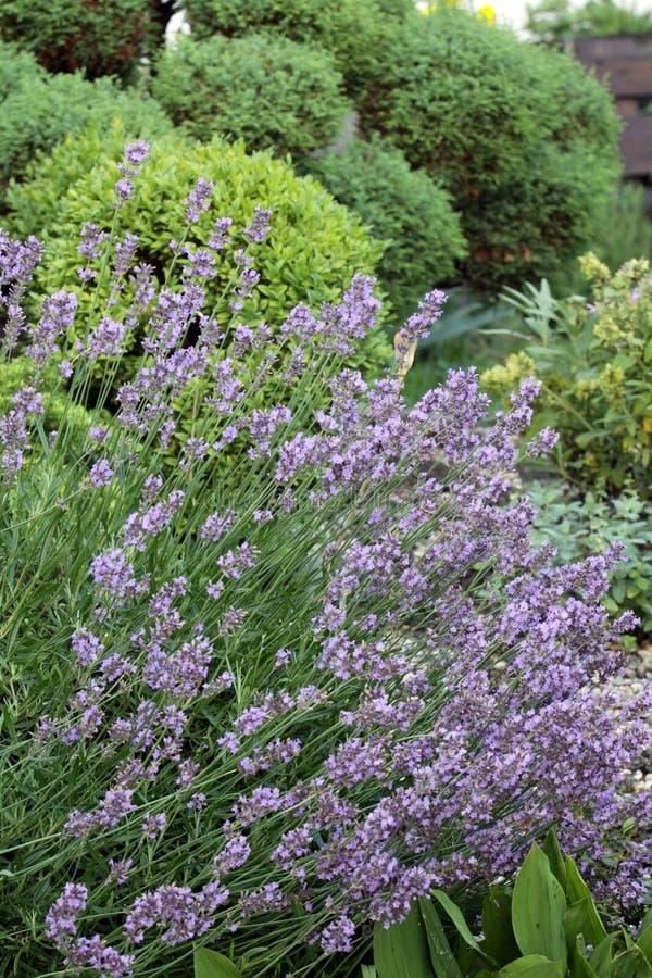 Der Lavendel auf dem sonnigen Gartenplatz lizenzfreie stockfotografie