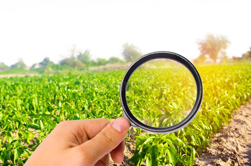 Der Lebensmittelwissenschaftler überprüft den Pfeffer auf Chemikalien und Schädlingsbekämpfungsmitteln nützliches gesundes Gemüse stockfotografie
