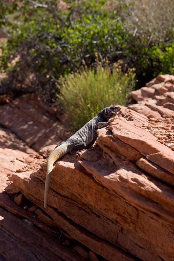 Der Leguan, der auf Sandstein sich sonnt, schaukelt, Nord-Arizona lizenzfreies stockfoto