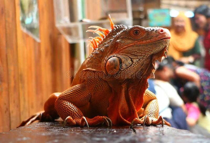 Der Leguan ist eine Klasse von pflanzenfressenden Eidechsen stockbild
