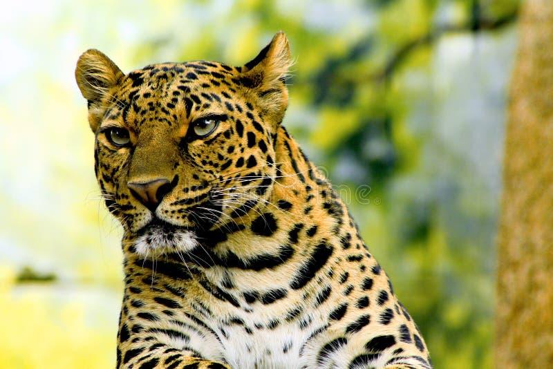 Der Leopard lizenzfreies stockbild