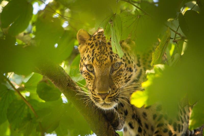 Der Leopard, der durch Blätter lugt und haben die schönen und scharfen Augen stockbild