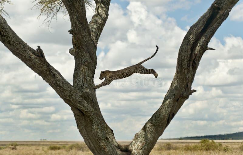Der Leopard springend von einem Baum, Serengeti stockfoto