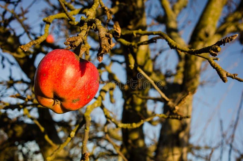 Der letzte Apfel lizenzfreie stockfotografie