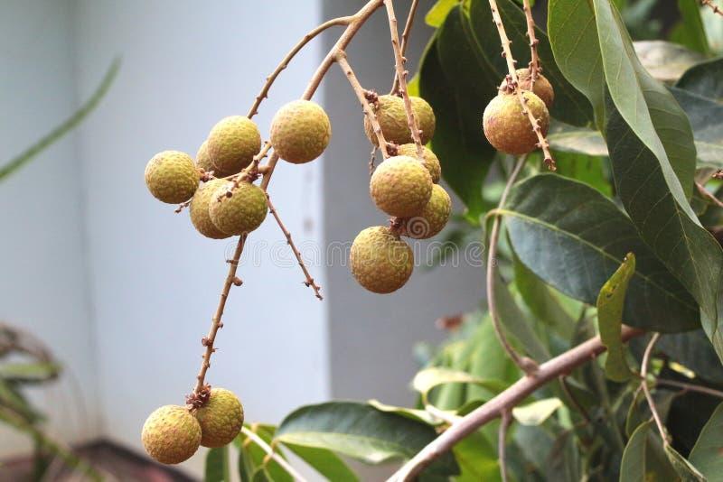 der longan ist ein tropischer baum der essbare frucht in thailand produziert stockbild bild. Black Bedroom Furniture Sets. Home Design Ideas