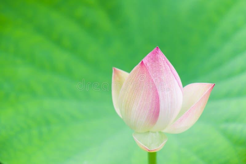 Der Lotos in voller Blüte stockfotografie
