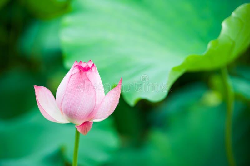 Der Lotos in voller Blüte lizenzfreies stockbild