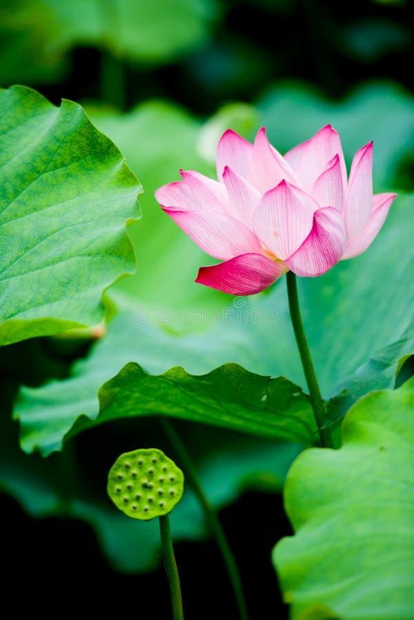 Der Lotos in voller Blüte stockfoto