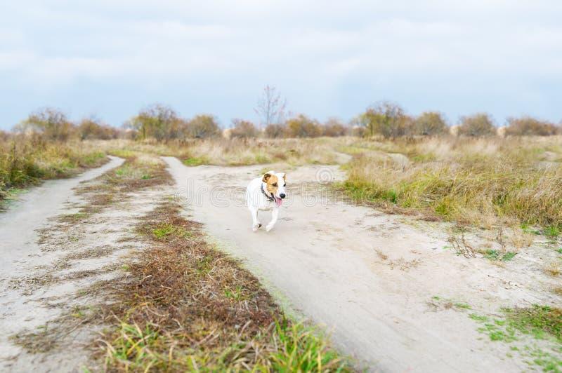 Der lustige laufende Hund draußen Lustige Terrierläufe Jacks Russell entlang dem Weg im Herbst stockfoto