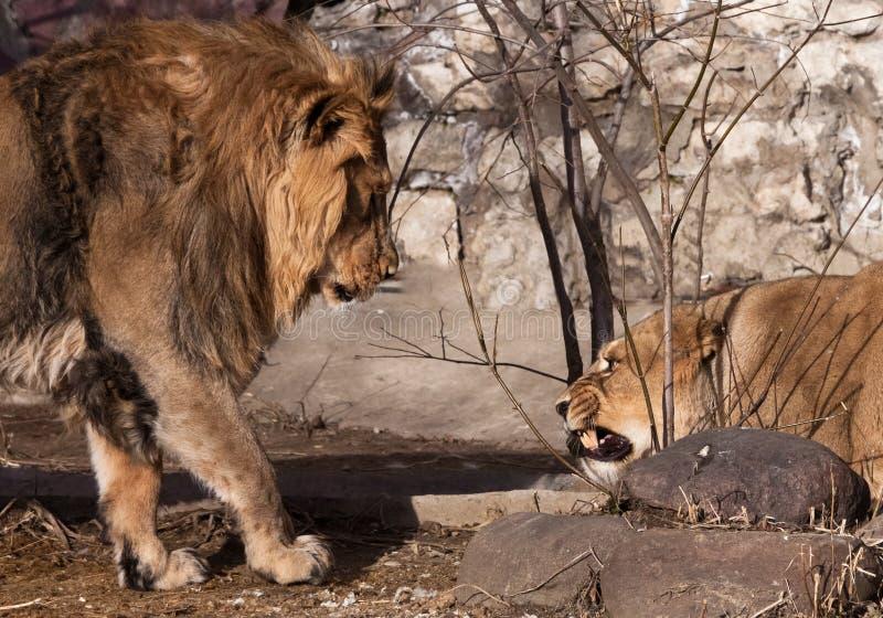 Der männliche Löwe nähert sich der Löwin und die Löwinverschlüsse und -knurren an ihm – ein Familienskandal lizenzfreies stockbild