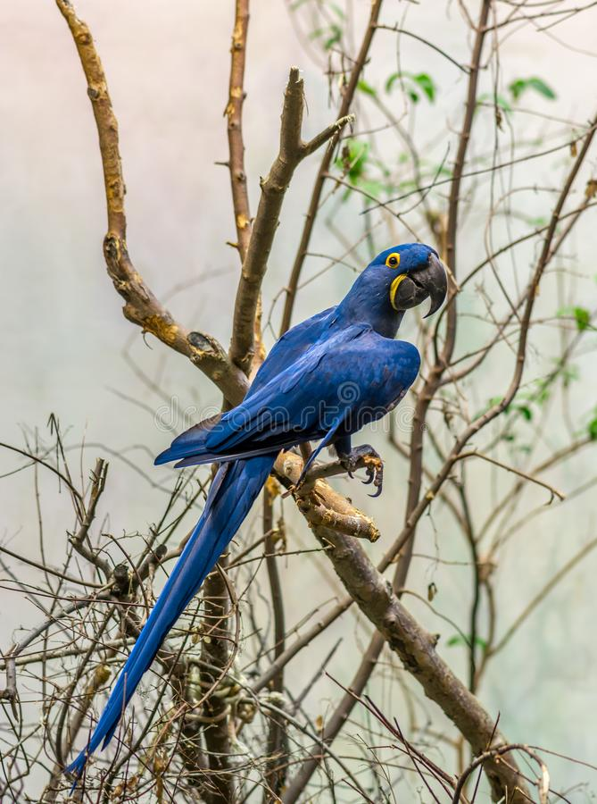 Der Magnificient Hyacinth Macaw stockbild
