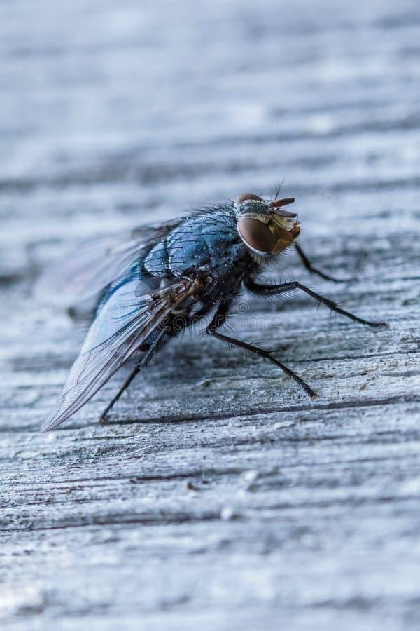 Der Makroschuß der allein schönen Fliege, die auf der Holzoberfläche sitzt stockbilder