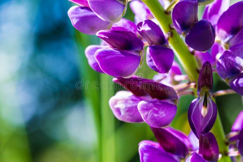 Der Makroschuß der purpurroten und lila Iris oder der Orchideenblumen auf dem grünen Hintergrund am sonnigen Sommer- oder Frühlin stockbilder