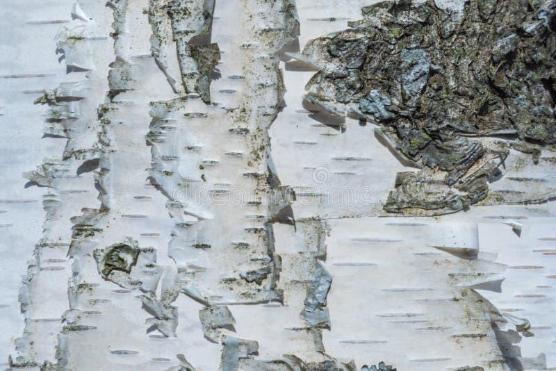 Der Makroschu? der Birkenrindebeschaffenheit oder -hintergrundes lizenzfreies stockfoto