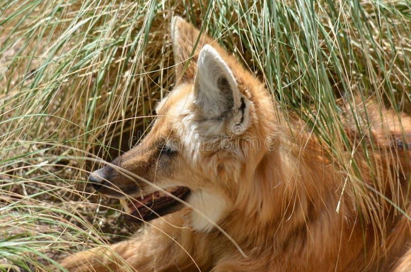 Der maned Wolf lizenzfreies stockfoto
