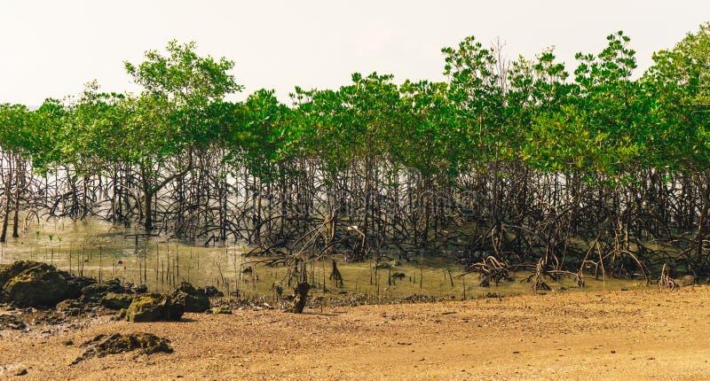 Der Mangrovenwald lizenzfreie stockfotografie