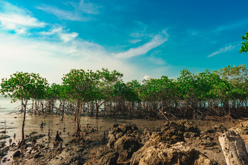 Der Mangrovenwald stockfoto