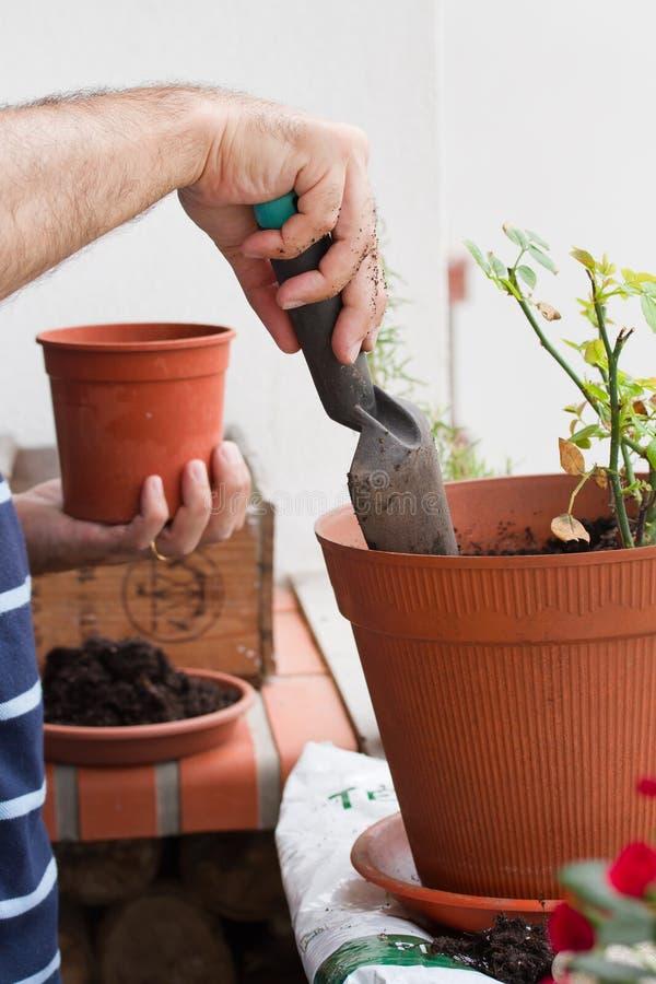 Der Mann, der Junge pflanzt, stieg lizenzfreie stockfotos