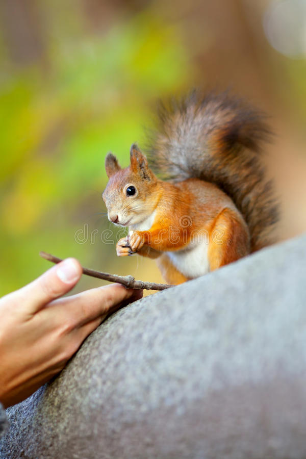 Der Mann zieht ein Eichhörnchen im Park ein stockfoto