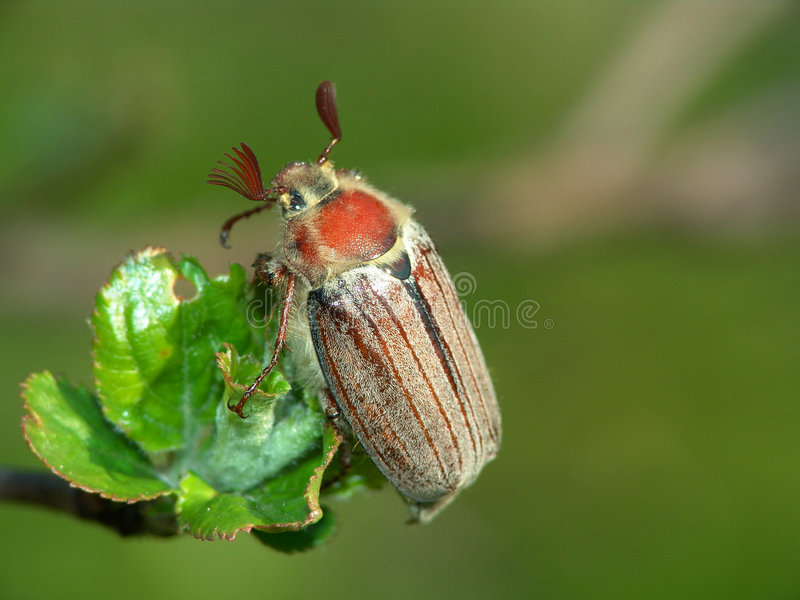 Der May-bug. stockfoto