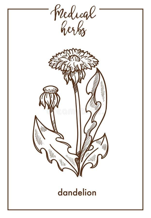 Der medizinischen botanische Vektorikone Krautskizze des Löwenzahns für medizinisches phytotherapy KräuterDesign vektor abbildung