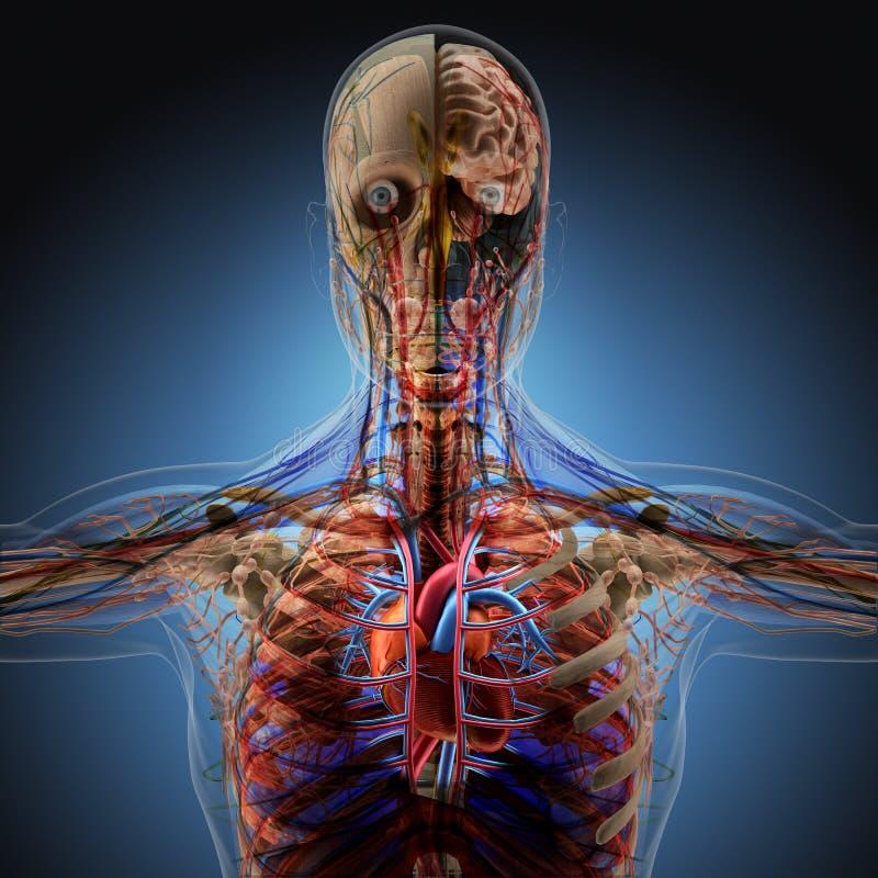 Der menschliche Körper durch Röntgenstrahlen auf blauem Hintergrund vektor abbildung